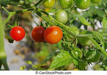緑, そして, 赤いサクランボ, トマト