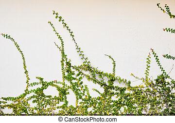 ∥, 緑, クリーパーの 植物, 上に, 古い, セメント, 白い壁