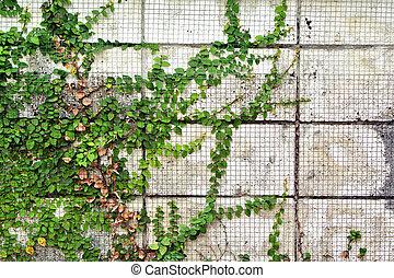 ∥, 緑, クリーパーの 植物, 上に, 古い, 壁, 背景