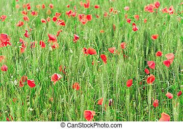 緑, ケシ, 成長する, 明るい赤, 小麦, 背景, 抽象的, フィールド, 春, ケシ, unripe