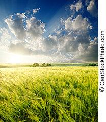 緑, 大麦, sunrays, 下に