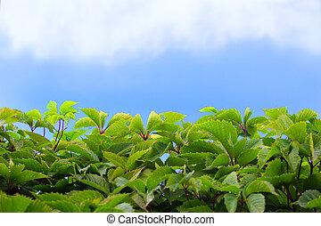 緑, 葉, 空