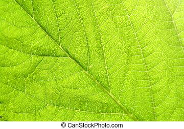 緑, 葉, 静脈