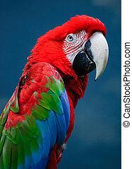 緑, macaw, 翼
