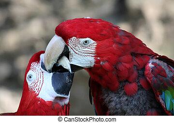 緑, macaw, 赤