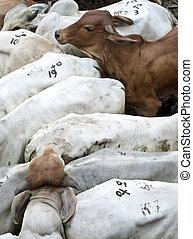 繁殖, 雄牛, herded, 家畜の囲い