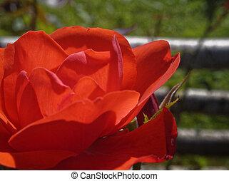 红升高, 花, 在中, 夏天, 宏