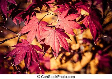 红的树叶, 在中, 秋季