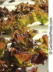 红的珊瑚, 蔬菜, 在中, 溶液培养, 农场