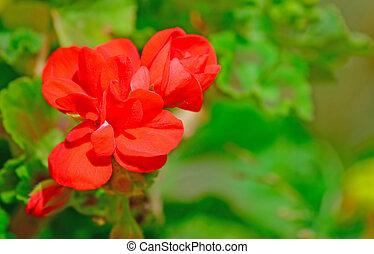 红的老鹳草属植物