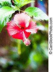 红, hibiskus, -, 热带的花