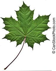 绿色的叶片, 枫树