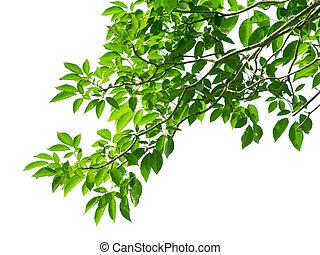 绿色的树叶, 在怀特上, 背景
