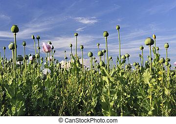 罌粟, 領域, 針對, a, 藍色的天空