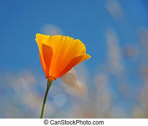 罌粟, eschscholzia, -, californica, 加利福尼亞