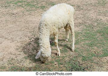 羊農場, 動物