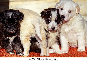羊飼い, わずかしか, グループ, 犬, 犬, すばらしい, 子犬
