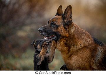 羊飼い, 屋外, ドイツ語, マレ, 犬, 肖像画, 子犬
