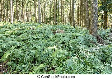 羊齒科植物, 覆蓋物, 地面