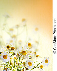 美しい, カモミール, 選ばれた, copyspace., の上, フォーカス, 精選する, portrait., フィールド, 大いに, 花