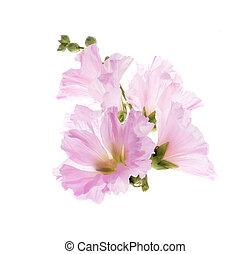 美しい, タチアオイ, 背景, /althaea, officinalis/isolated, 飾り付ける, 花, 白