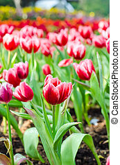 美しい, チューリップ, 花, フィールド