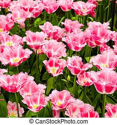美しい, チューリップ, flowers., field., 背景, 春の花