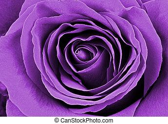 美しい, バラ, 紫色