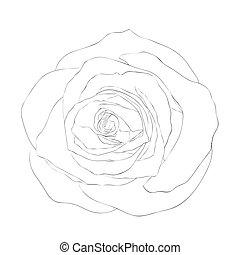 美しい, バラ, 隔離された, バックグラウンド。, 黒, モノクローム, 白
