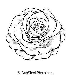 美しい, バラ, 隔離された, 黒い背景, モノクローム, 白