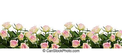美しい, ピンクのバラ, 白い花, ボーダー