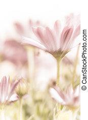 美しい, ピンクの花, デイジー