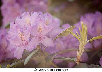 美しい, ピンクの花, 庭