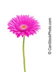 美しい, ピンクの花, 隔離された, 背景, デイジー, 白, gerbera