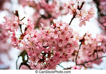 美しい, ピンク, さくらんぼ, 春, 背景, 咲く