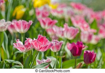 美しい, ピンク, 庭, カラフルである, チューリップ, 花