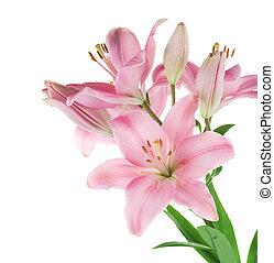 美しい, ピンク, 白いユリ, 隔離された