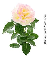 美しい, ピンク, rose.