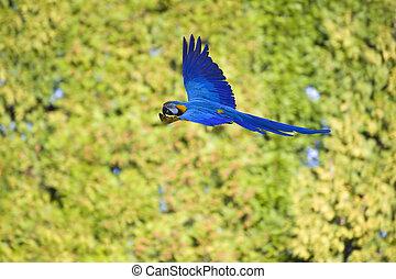 美しい, フルである, macaw, 飛ぶ, イメージ, 木, に対して, ぼんやりさせられた, 緑の背景, 飛行, ...