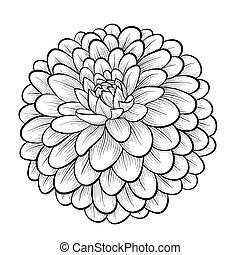 美しい, モノクローム, 黒い、そして白い, ダリア, 花, 隔離された, 白, 背景