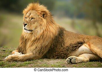 美しい, ライオン, 動物, 野生, 肖像画, マレ
