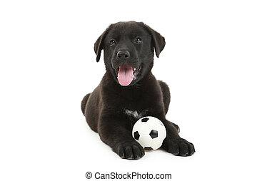 美しい, ラブラドル, 隔離された, 黒, 白, 子犬