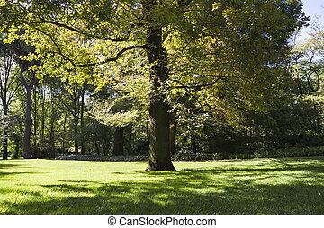 美しい, 公園, 葉が多い, トランク, 木