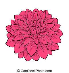 美しい, 写実的, 花, スタイル, 隔離された, ライン, 輪郭, 背景, ダリア, 引かれる, 白