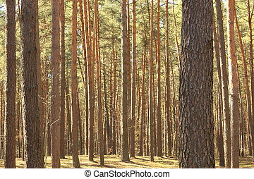 美しい, 夏, 森林, 松