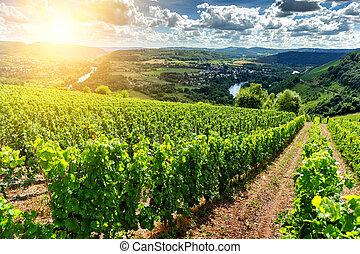 美しい, 夏, 風景, ブドウ園
