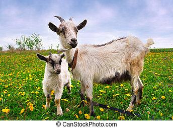 美しい, 夏, goat, 風景, 子供