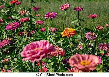 美しい, 夏, zinnia, 自然, ideas., 花, レイアウト, 花, あなたの