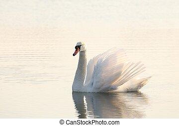 美しい, 夜明け, 白鳥