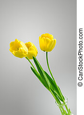 美しい, 強くされた, チューリップ, 黄色, ニュートラル, 背景